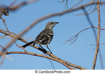 Photograph of a Northern Mockingbird perched on a tree limb against a blue sky.
