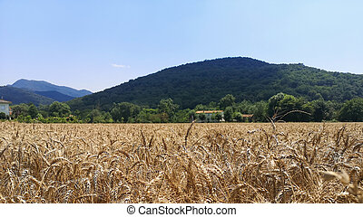 Photograph of a wheat field with a mountain in the background