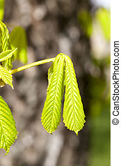 green leaves of chestnut