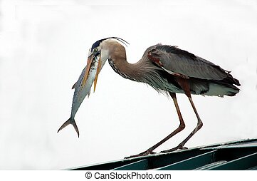 Great Blue Heron - Photographed Great Blue Heron chowing...