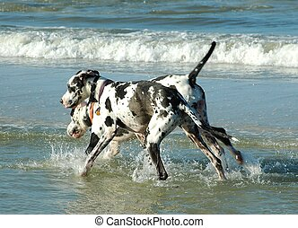 Great Danes - Photographed Great Danes playing in the water...