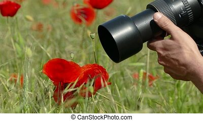 photographer takes a photo of a poppy - the photographer is...