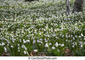 photographer takes pictures snowdrops. snowdrops in flower in early Spring in an ancient forest