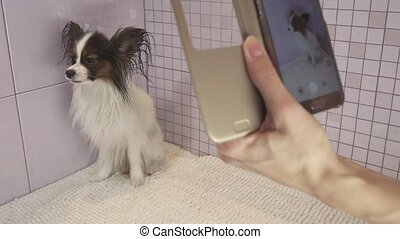 Photographing on smartphone dog after bathing Continental Toy Spaniel Papillon stock footage video