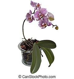 Photorealistic illustration of phalaenopsis at flower pot