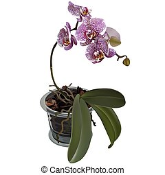 Photorealistic illustration of phalaenopsis at flower pot