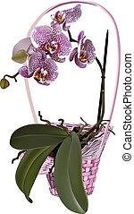 Photorealistic wicker floral basket with orchid. Branch of lilac spotted flowers, leaves and roots