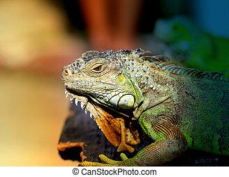 Photos bright green iguana