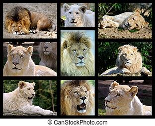 photos, mosaïque, de, lions