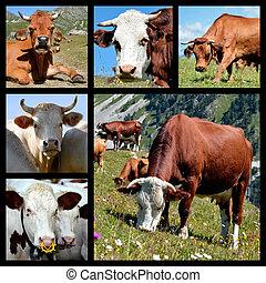 photos, mosaïque, de, vaches
