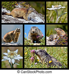 photos, mosaïque, marmottes, et, edelweiss