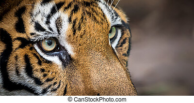 Photos of tiger naturally. - Detailed eyes of the tiger up ...