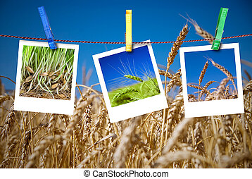 photos of wheat hang on rope with pins. Seasonal growth...