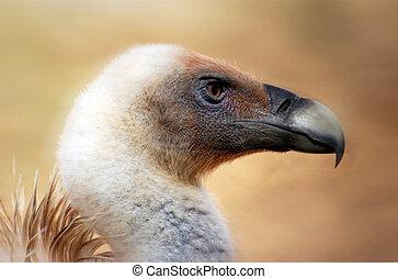 photos, vie sauvage, -, vautour
