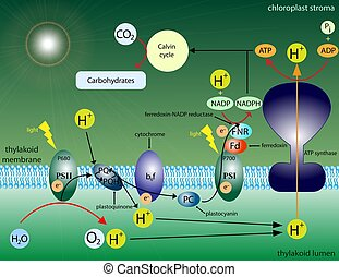 Photosynthesis - Illustration of the molecular reactions in...