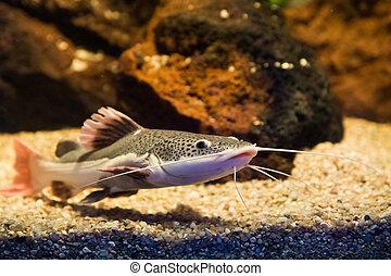 Phractocephalus hemioliopterus - redtail catfish