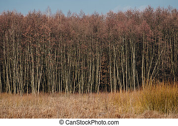 phragmites in front of trees