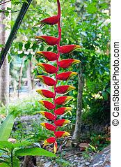 phuket, heliconia, rostrata, tailandia