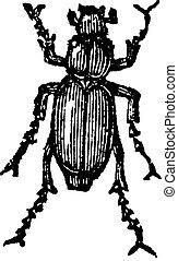 Phyllophaga, vintage engraving.