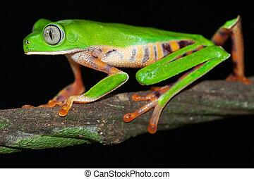 Phylomedusa tomopterna - Monkey frog Phyllomedusa tomopterna...