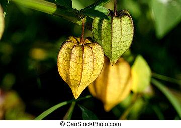 Physalis fruit on tree