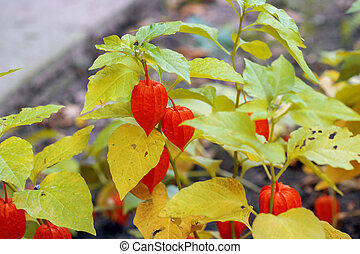 Physalis on a branch with green leaves