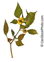 Physalis peruviana in herbarium - Pressed and dried flowers ...