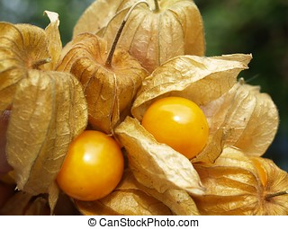 Physalis fruit with fruiting bodies (consumption...