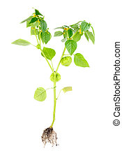 Physalis with flower, bud, lantern and root isolated on white background