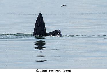 physalus, bryde's, comportamiento, pez, ballena, mar, comida...