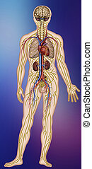 Physiology of the nervous, circulatory systems and parts of the human body.