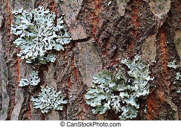 physodes, hypogymnia, árbol, liquen, tronco, crecer