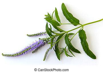 physostegia, wildflower