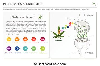 Phytocannabinoids horizontal business infographic