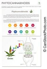Phytocannabinoids vertical business infographic
