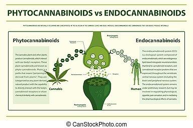 Phytocannabinoids vs Endocannabinoids horizontal infographic