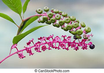 Phytolacca flower arborea turkish grapes