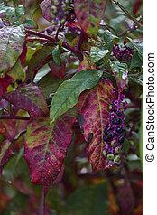 Phytolacca floweror arborea turkish grapes