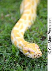 phyton, albino