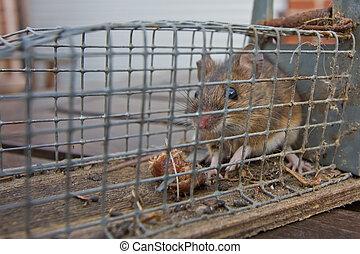 piège souris