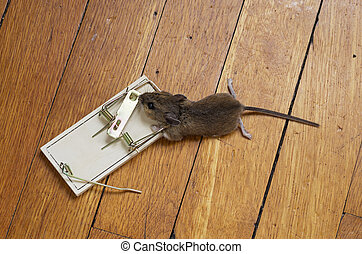 piège souris, mort