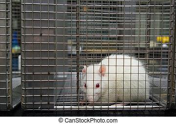 piégé, effrayé, regarder, rat, laboratoire, cage