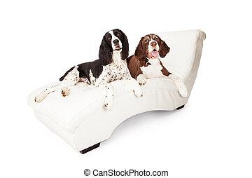 più primaverile, due, salotto, spaniel, chaise, cani