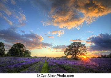 piękny, atmosferyczny, dojrzały, wibrujący, okolica, pola, wizerunek, niebo, lawenda, oszałamiający, zachód słońca, angielski, chmury, na, krajobraz