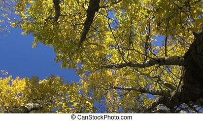 piękny, autumn las, osiny