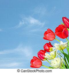piękny, błękitny, bukiet, tulipany, ułożyć, niebo, yellow-white, tło, wiosna, czerwony