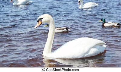 piękny, biały, łabędzie, na, przedimek określony przed rzeczownikami, rzeka