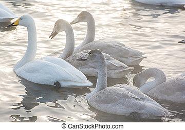 piękny, biały, łabędzie, whooping