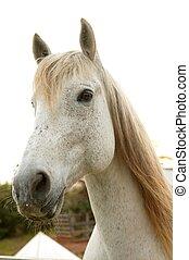 piękny, biały koń, przeglądnięcie do aparatu fotograficzny