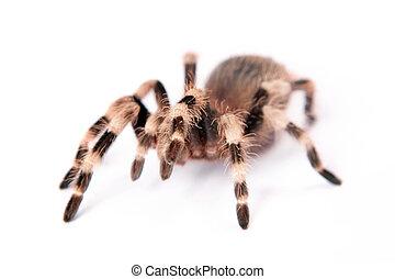 piękny, biały, pająk, tło, odizolowany
